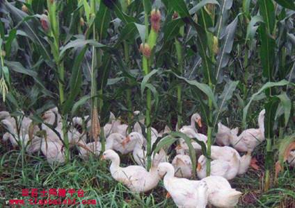 玉米地里可以养鹅来除草吗?